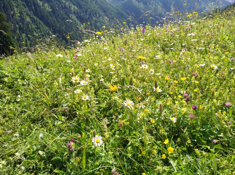 Vielfältig blühende Wiese in Tirol.
