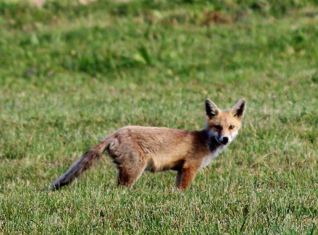 Ein Fuchs geht über eine grüne Wiese.