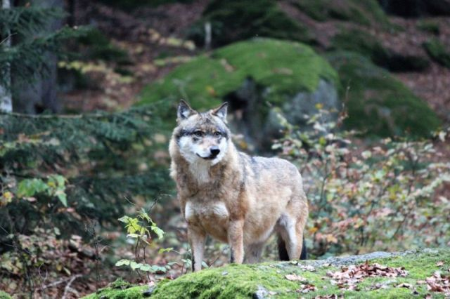 Grau-brauner Wolf vor grünen Pflanzen.
