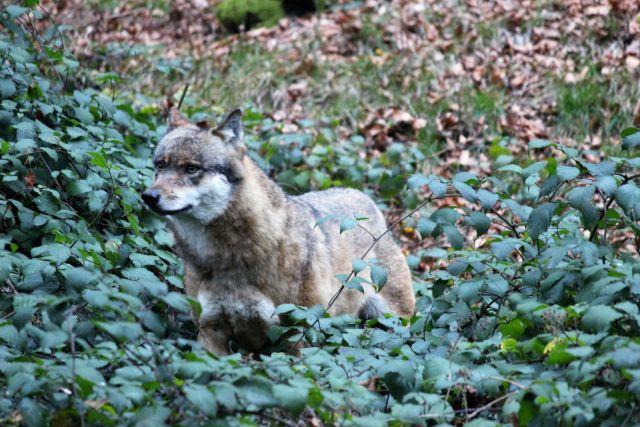 Ein Wolf in einem niedrigen Gebüsch.