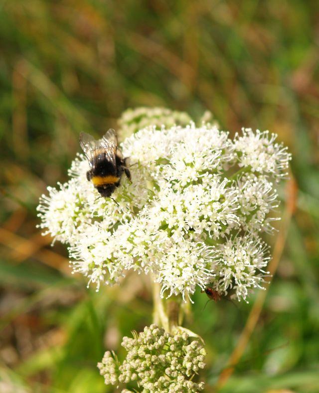 Eine Hummel auf einer Blüte. Insekten brauchen eine Agrarwende auch gegen den Deutschen Bauernverband.