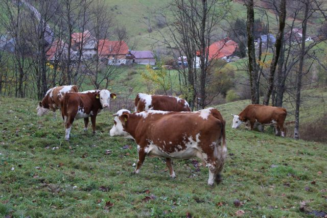 Sondierungspapier bringt keine Wende in der Agrarföredrung:Braun-weiße Kühe auf einer Weide im Biosphärengebiet Schwarzwald.