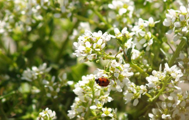 Roter Marienkäfer mit schwarzen Punkten sitzt auf einer Pflanze mit weißen Blüten.