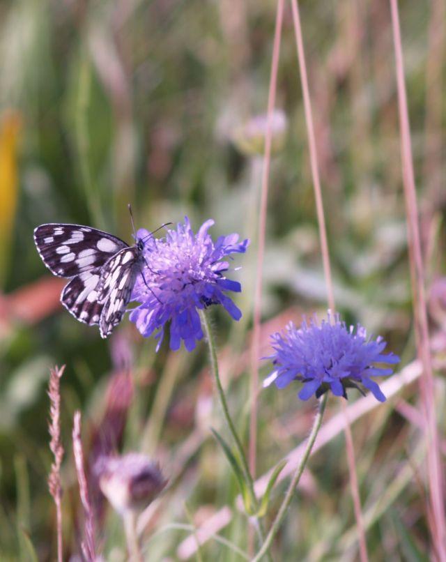 Schwarz-weißer Schmetterling auf blauer Blüte.