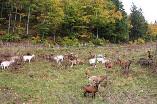 Ziegenherde mit dunkelbraunen und weißen Tieren auf einer Wiese am Waldrand.