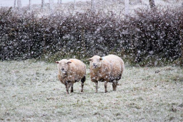 Zwei Schafe auf einer Wiese bei leichtem Schneefall.