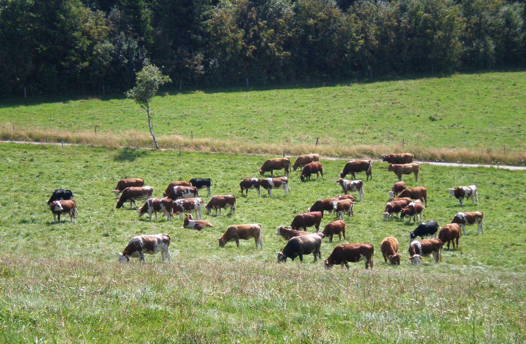 Kühe auf einer grünen Weide. Im Koalitionsvertrag fehlen Ansatzpunkte für eine Agrarwende, die auf Nachhaltigkeit und Ökologie setzt.
