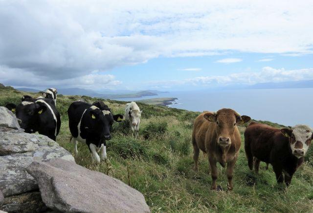 Brexit stellt Irland vor große Herausforderungen: Kühe auf einer grünen Weide vor der Atlantikküste.