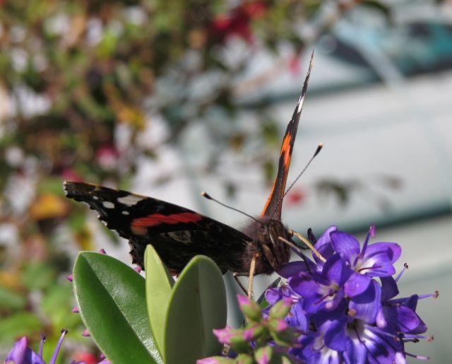 Schmetterling auf einer Blüte.