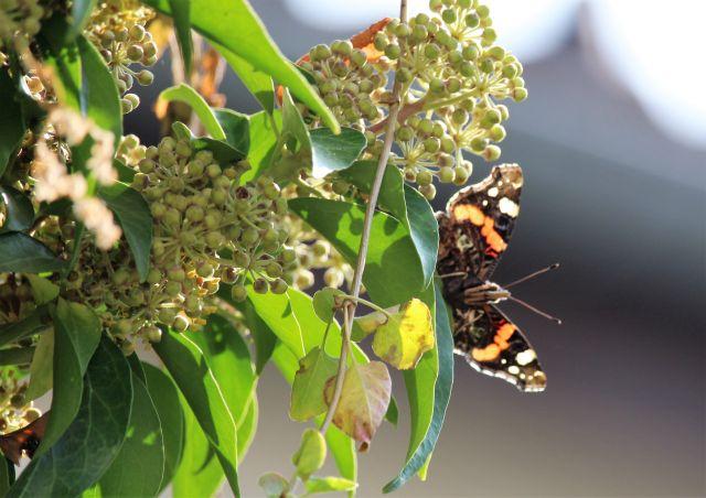 Schmetterlin an einem Rankgewächs.