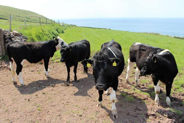 Vier schwarze Kühe mit gelben Ohrmarken.