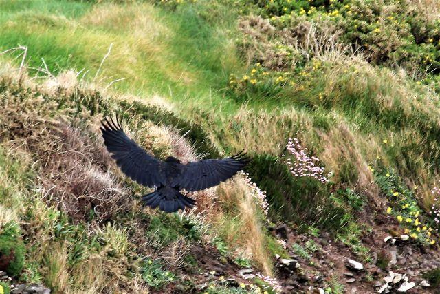 Junger Kolkrabe mit ausgebreiteten Flügeln landet in einem Busch.
