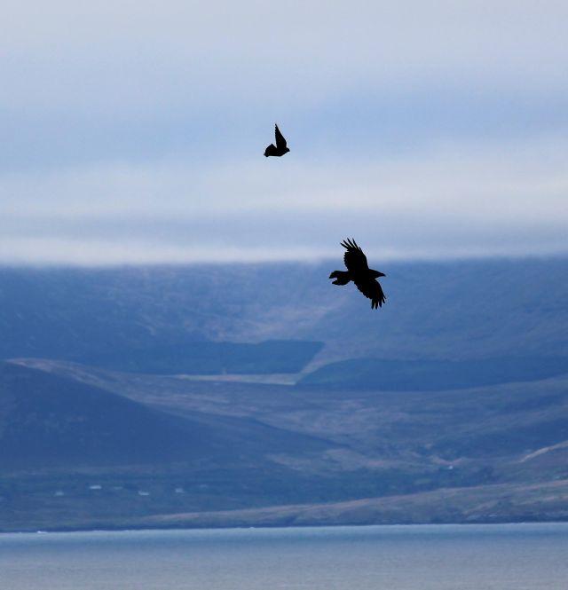 Eine deutlich kleinere Dohle verfolgt den Kolkraben im Flug über dem Meer.