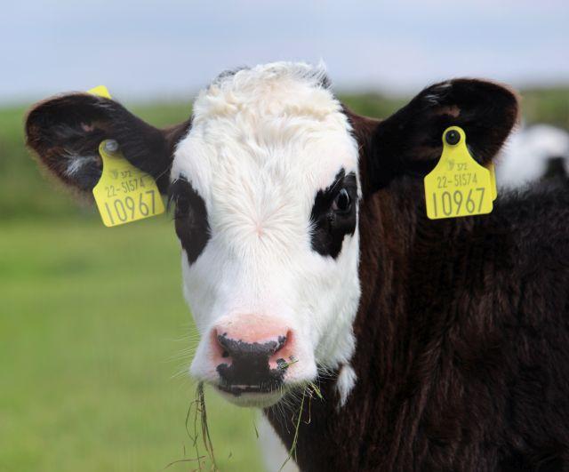 Schwarze Kuh mit weißem Gesicht und schwarzumrandeten Augen mit zwei großen gelben Ohrmarken.