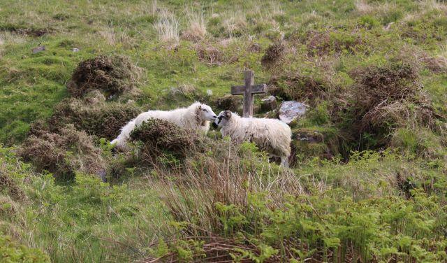 Zwei Schafe mit hellem Fell auf einer Weide mit hohem Bewuchs. Neben ihnen ein steinernes Kreuz.