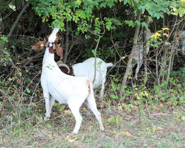 Helle Ziege mit braunen Ohren und gelben Ohrmarken knabbert an einem Busch.