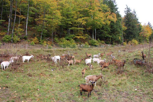 Ziegen im Biosphärengebiet Schwarzwald auf einer Weide am Waldrand. Sie halten den Aufwuchs niedrig und sichern so die Kulturlandschaft.