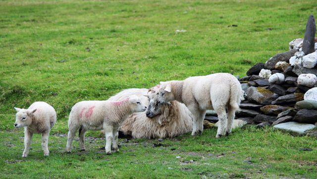 Mutterschaf umgeben von drei Lämmern im irischen Kerry.