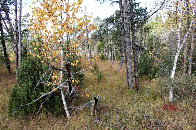 Moor mit tpischem Bewuchs, darunter auch Birken mit weißen Stämmen.