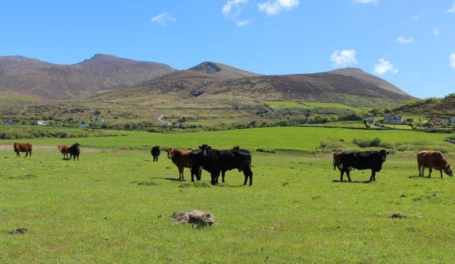 Schwarze Kühe auf einer grünen Weide. Im Hintergrund einige Berge.