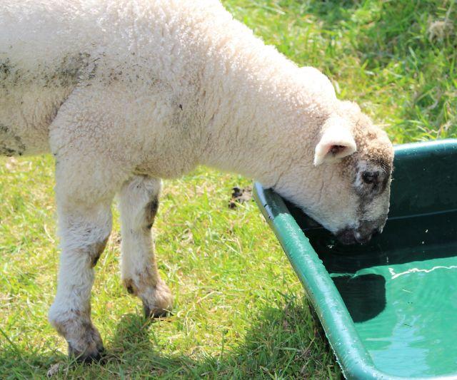 Ein junges Schaf trinkt aus einem grünen Waserbehälter.