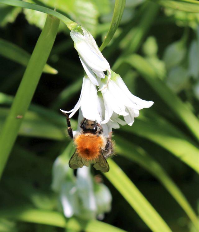 Eine Hummel arbeitet sich in die weiße Blüte eines Glöckchenlauchs hinein.