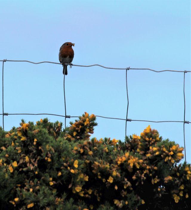 Ein Rotkehlchen sitzt mit Futter im Schnabel auf einem Maschndrahtzaun über einem Stechginsterbusch.