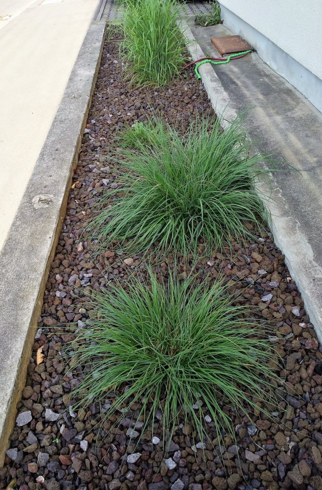 Ein Beet voller Schotter mit drei grünen gräserartigen Pflanzen ohne jede Blüte.
