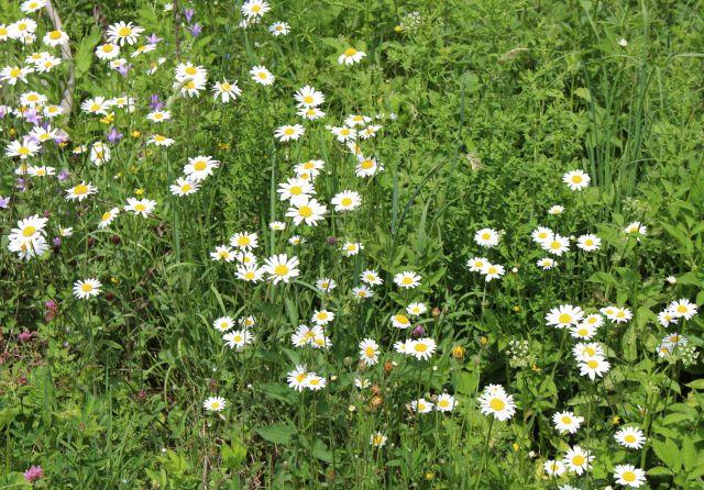 Blütenreiche Pflanzen an einem Wegrand, darunter viele Margeriten mit weißen Blütenblättern und einem gelben Zentrum.