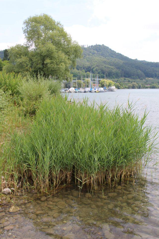 Grünes Schilf am Ufer des Bodensees. Im Hintergrund Sportboote.