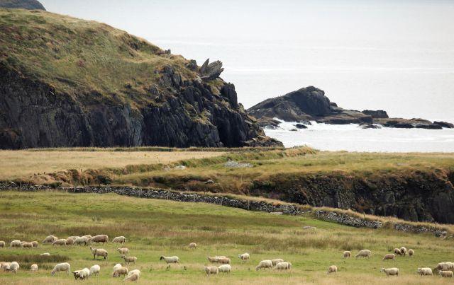 Eine Schafherde grast in der Nähe des Meeres auf einer Klippe.