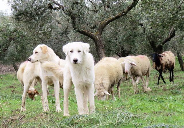 Zwei junge Herdenschutzhunde, dahinter Schafe und Bäume.