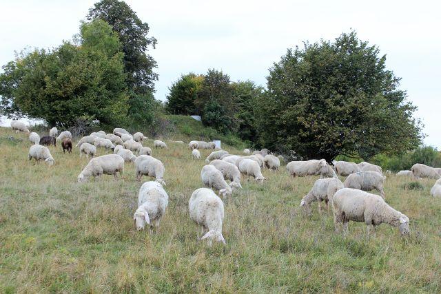 Helle Schafe weiden auf einer grünen Wiese mit Hutebäumen.