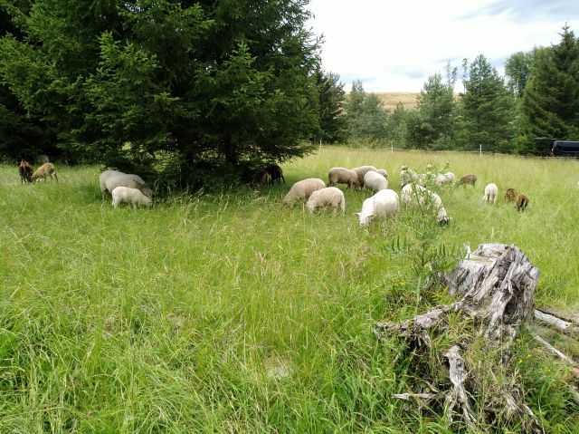 Schafe auf einer Magerwiese, im Vordergrund ein verrottender Baumstumpf, im Hintergrund einige Bäume.