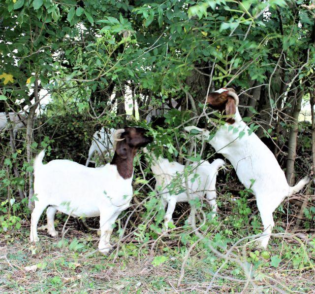 Drei weiß-braune Ziegen in einem Gebüsch. Sie verbeißen die Büsche und halten so die Weidelandschaft frei. Eine steht dabei auf den Hinterbeinen.