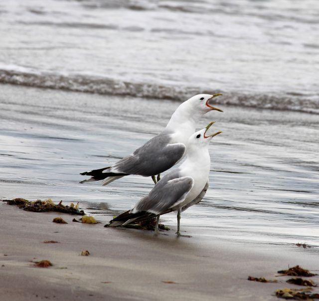 Zwei Silbermöwen am Strand bei auflaufender Flut. Beide weiß-grauen Möwen haben die Schnäbel geöffnet.