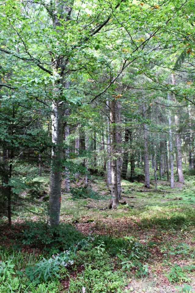 Viel Licht fällt in diesem lichten Wald auf den bewachsenen Boden.