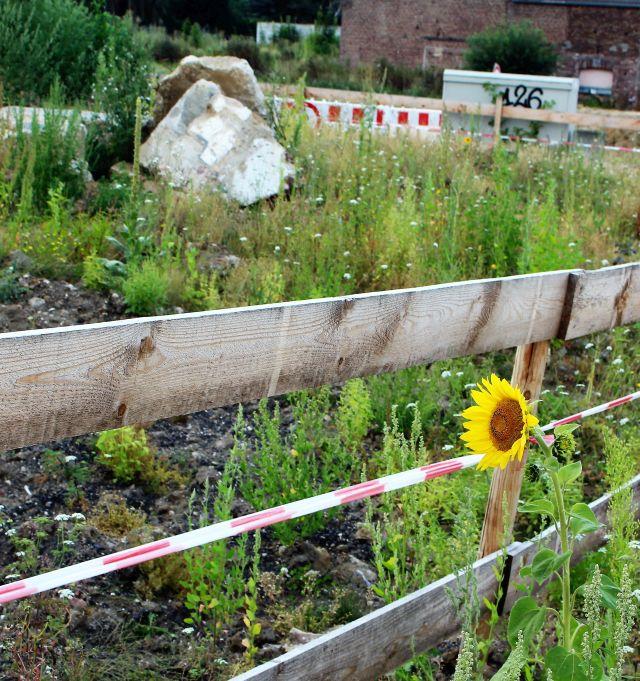 Eine aufgeblühte Sonnenblume vor einem Holzzaun, der die Ausgrabungsfläche beim ehemaligen Immerather Dom abgrenzt.