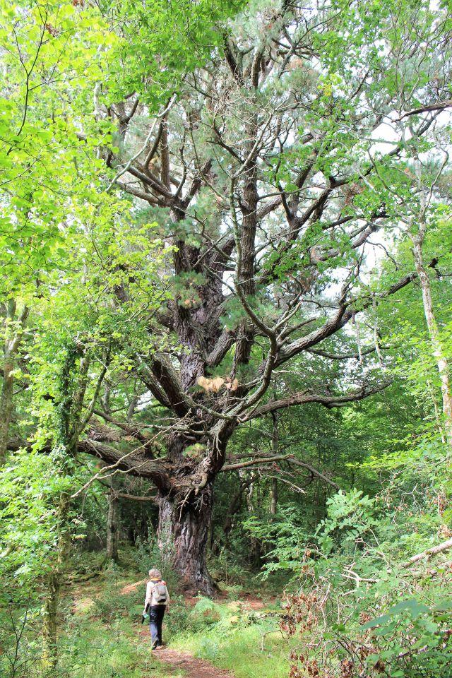 Eine großgewachsene Scots Pine und weitere Bäume. Zum Größenvergelch eine Wanderin.