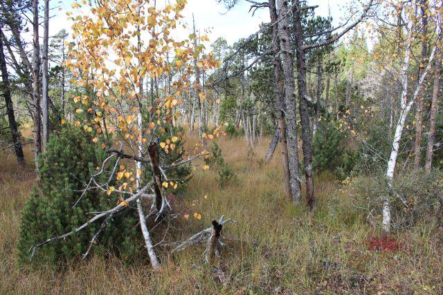 Birken wachsen auf einer Moorfläche.