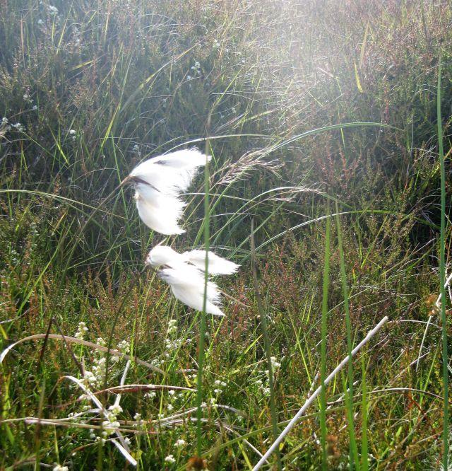 Weißes Wollgras umgeben von anderen grünen Pflanzen.