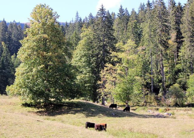 Einige dunkle Rinder auf einer herbstlichen Weide mit einigen Bäumen.