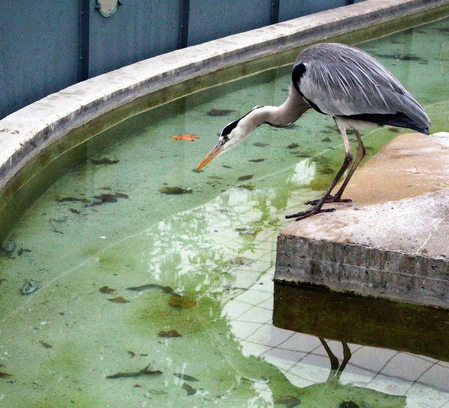 Ein Graureiher streckt Hals und Schnabel weit nach vorne und schaut in ein Wasserbecken.