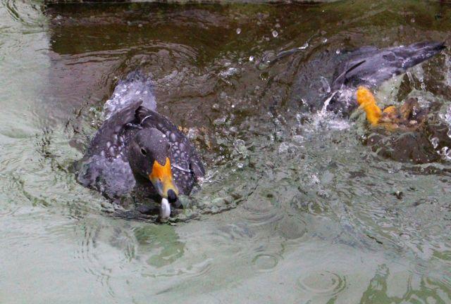 Magellan-Dampfschiffenten mit dunklen Federn und einem roten Schnabel. Eines der Tiere hat einen Fisch im Schnabel.