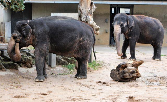 Zwei Elefanten stehen leicht versetzt und schauen in die gleiche Richtung. Sie bewegen leicht Kopf und Rüssel.