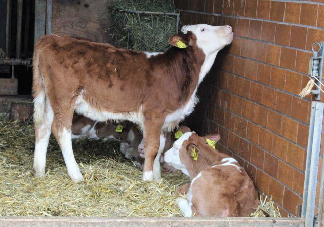 Kleine Kälber in einem Stall mit Stroh - und ohne Mutterkuh.