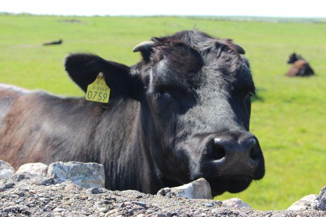 Gelbe Ohrmarke im Ohr einen schwarzen Kuh, auf einer grünen Wiese hinter einer Steinmauer.