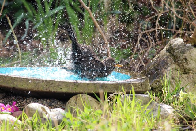 Eine schwarze Amsel badet in einem bläulichen Vogelbecken und ist komplett von Wasserspritzern umgeben.