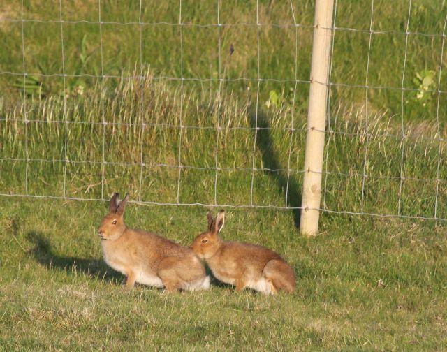 Zwei hebbraune Feldhasen sitzen auf einer Weide in der Sonne.
