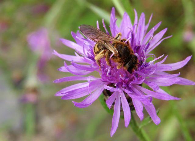 Wildbiene auf einer Blüte mit violetten Blütenblättern.
